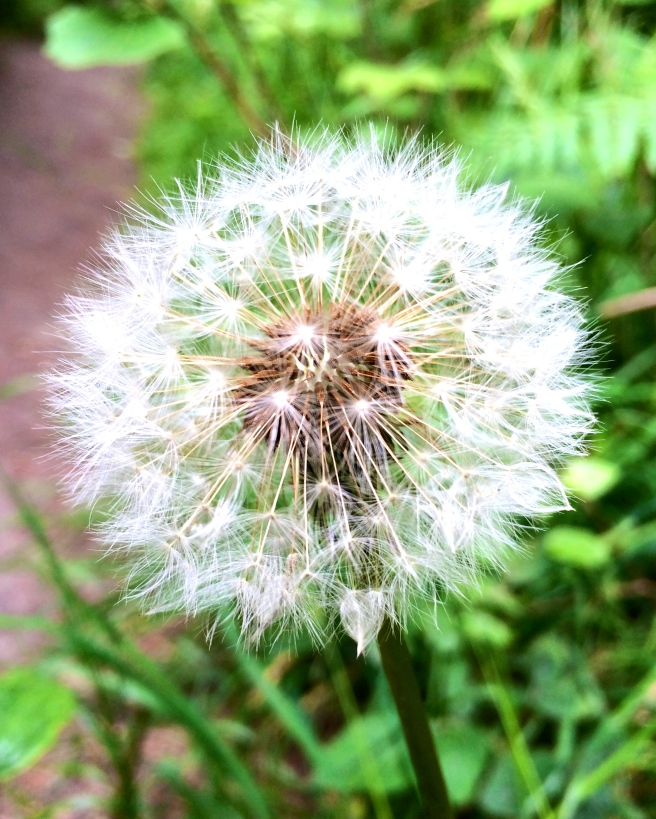 Whenever I come across these dandelion clocks on my walks, my heart sings. They feel like one of nature's most powerful metaphors for life.